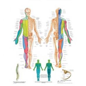 PLANCHE ANATOMIQUE les nerfs spinaux